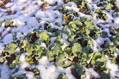 La jeune plante d'usine de graines de colza part dans la neige couverte par hiver Photos stock