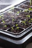 La jeune plante de arrosage plante l'élevage dans le plateau de plastique de germination Image libre de droits