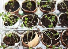 La jeune plante de brocoli pousse l'élevage dans les coquilles d'oeuf, alimentation saine et Images libres de droits