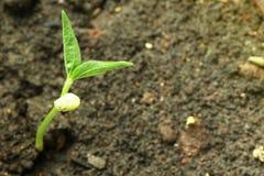 La jeune plante de haricot grandissent dans le sol Photos libres de droits