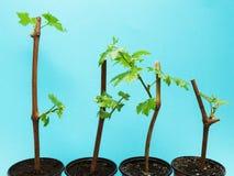 La jeune plante de quatre raisins sur un fond bleu, est isolée image libre de droits