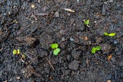 La jeune plante de radis pousse des pousses s'élevant hors du sol foncé de compost dans un vrai jardin photo stock