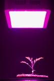 La jeune plante de tomate sous la LED élèvent la lumière Photo stock