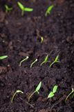 La jeune plante se développe dans la terre et se prépare à la transplantation pour ouvrir la terre Foyer s?lectif images stock