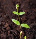 La jeune plante se développe dans la terre et se prépare à la transplantation pour ouvrir la terre Foyer s?lectif images libres de droits