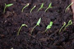 La jeune plante se développe dans la terre et se prépare à la transplantation pour ouvrir la terre Foyer s?lectif image stock