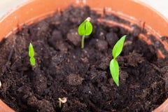 La jeune plante se développe dans la terre et se prépare à la transplantation pour ouvrir la terre Foyer s?lectif photos libres de droits