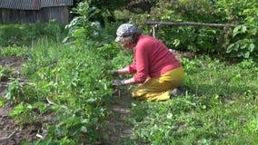 La jeune plante supérieure de fraise de mauvaise herbe de femme et mangent la baie mûre rouge clips vidéos