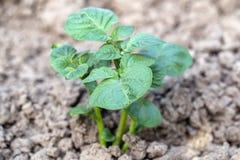 La jeune pomme de terre laisse l'élevage dans le jardin 4 Photos libres de droits