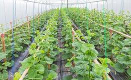 La jeune pousse des melons de japanness ou des melons verts ou des melons de cantaloup plante l'élevage en serre chaude Photo stock