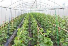 La jeune pousse des melons de japanness ou des melons verts ou des melons de cantaloup plante l'élevage en serre chaude Photographie stock