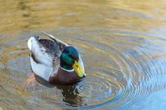 La jeunes natation et boisson gentilles de canard de Mallard arrosent, premier ressort photographie stock libre de droits