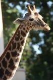 La jirafa Imagenes de archivo