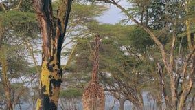 La jirafa africana camina debajo del toldo verde de los árboles del acacia almacen de metraje de vídeo