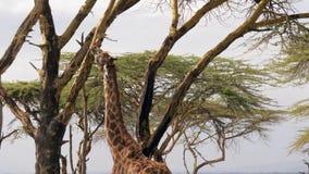La jirafa africana come la corteza del acacia en sabana almacen de video