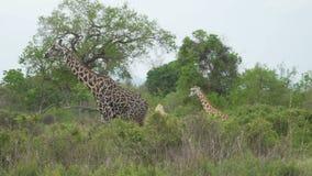 La jirafa agraciada vieja se mueve detrás de los arbustos en la sabana almacen de metraje de vídeo