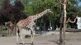 La jirafa camina y mastica en el parque zoológico del aire abierto en la cámara lenta almacen de video