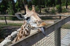 La jirafa con la lengua larga mira sobre la cerca foto de archivo