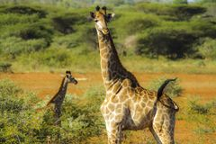 La jirafa de la madre dirige a su bebé a través de la sabana fotos de archivo libres de regalías
