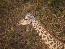 La jirafa de Thornicroft Fotos de archivo libres de regalías