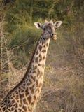 La jirafa de Thornicroft Fotos de archivo
