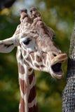 La jirafa del canto Fotos de archivo