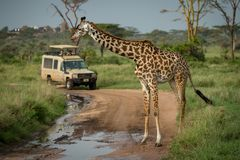 La jirafa del Masai se coloca delante del jeep Imagen de archivo