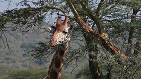 La jirafa del ` s de Rothschild, rothschildi de los camelopardalis del giraffa, el ` adulto s del acacia de la consumición se va, metrajes