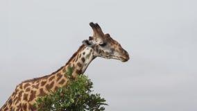 La jirafa divertida mastica las hojas y da vuelta a su cabeza hacia la cámara vídeo 4K metrajes