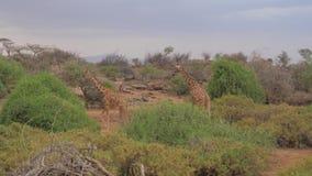 La jirafa dos va a los árboles a comer sus hojas, la reserva africana 4K metrajes