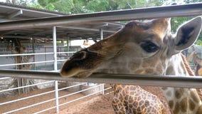 La jirafa en el parque zoológico camina alrededor del recinto Cámara lenta tailandia Pattaya almacen de video