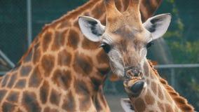 La jirafa en el parque zoológico camina alrededor del recinto Cámara lenta tailandia Pattaya almacen de metraje de vídeo