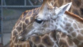 La jirafa en el parque zoológico es agua potable de un depósito bajo la forma de pozo Cámara lenta tailandia almacen de metraje de vídeo