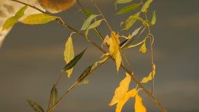 La jirafa extrema del primer del ángulo que come las hojas de un árbol, vídeo del primer, volando una cámara del ` s de la jirafa almacen de video