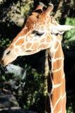 La jirafa hermosa mira a su derecha Imagenes de archivo