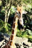 La jirafa hermosa se pega la lengua hacia fuera Imágenes de archivo libres de regalías