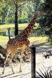 La jirafa hermosa se va Imagen de archivo