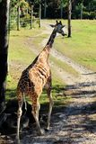 La jirafa hermosa se va con su lengua hacia fuera Fotografía de archivo