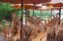 La jirafa los animales terrestres vivos más altos y los rumiantes más grandes imagen de archivo libre de regalías