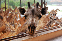 La jirafa más adorable imagen de archivo