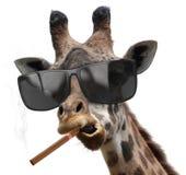 La jirafa machista con las gafas de sol frescas que fuman un cigarro cubano le gusta un jefe fotografía de archivo