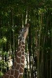 La jirafa mancha choque Imagen de archivo