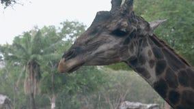 La jirafa manchada divertida se lame después de comer las hojas verdes metrajes