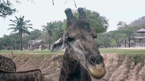 La jirafa marrón bastante manchada coge la comida usando la lengua larga almacen de metraje de vídeo