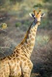 La jirafa mira en cámara Fotografía de archivo libre de regalías