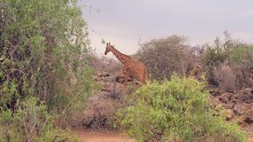 La jirafa pasa a través de los arbustos y de los arbustos de la sabana africana metrajes
