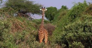 La jirafa reticulada, reticulata de los camelopardalis del giraffa, par en Samburu parquea en Kenia almacen de video