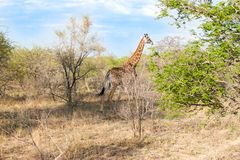 La jirafa reticulada salvaje y el paisaje africano en Kruger nacional parquean en UAR Fotografía de archivo libre de regalías