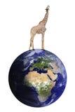 La jirafa se coloca en la tierra Imagen de archivo libre de regalías