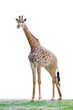 La jirafa se coloca en la tierra Fotografía de archivo libre de regalías